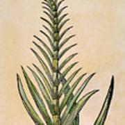 Sugar Cane, 1597 Art Print