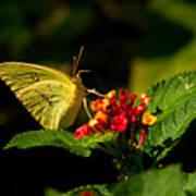 Sulpher Butterfly On Lantana Art Print