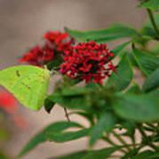 Sulphur Butterfly On Red Flower Art Print