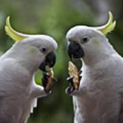 Sulphur Crested Cockatoo Pair Art Print