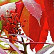 Sumac Closeup On White Pine Trail In Kent County, Michigan Art Print
