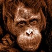 Sumatran Orangutan Female Art Print
