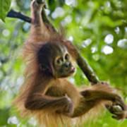 Sumatran Orangutan Pongo Abelii Baby Print by Suzi Eszterhas
