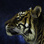 Sumatran Tiger Profile Art Print
