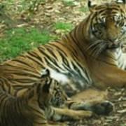 Sumatran Tigers  Art Print