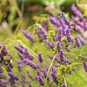 Summer Lavender In Lush Green Fields Art Print