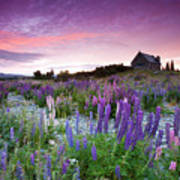 Summer Lupins At Sunrise At Lake Tekapo, Nz Print by Atan Chua