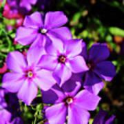 Summer Purple Phlox Art Print