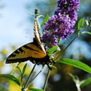 Summer Swallowtail Art Print