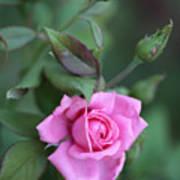 Summer Sweet Rose Art Print