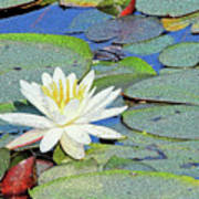 Summer Water Lily Art Print