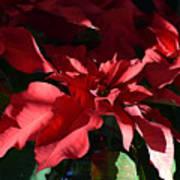 Sun Blushed Poinsettia  Art Print