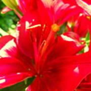 Sun Dappled Lily Art Print