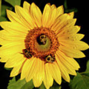 Sunflower And Bees Art Print