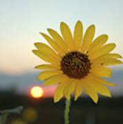 Sun Flower At Sunset Art Print