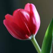 Sun Kissed Tulip I Art Print