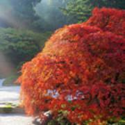 Sun Rays Over Old Japanese Maple Tree Art Print