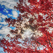 Sun Sky Clouds And A Red Maple Art Print