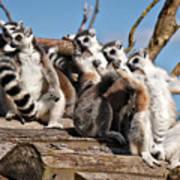 Sunbathing Ring-tailed Lemurs Art Print