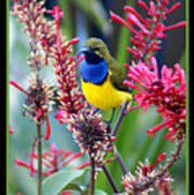 Sunbird Art Print by Holly Kempe