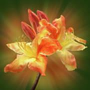 Sunburst Orange Azalea Art Print