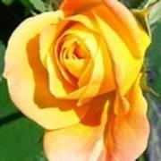 Sunburst Rose Bud Art Print