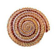 Sundial Shell Art Print