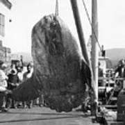 Sunfish Mola Mola On Monterey's Wharf Two June 20 1946 Art Print
