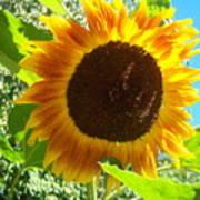 Sunflower 103 Art Print
