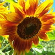 Sunflower 104 Art Print