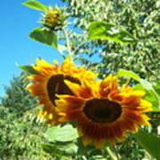 Sunflower 106 Art Print