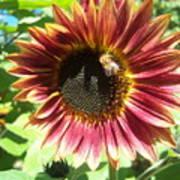 Sunflower 108 Art Print