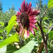 Sunflower 111 Art Print
