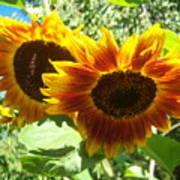 Sunflower 115 Art Print