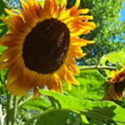 Sunflower 122 Art Print