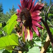 Sunflower 127 Art Print