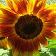 Sunflower 141 Art Print