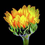 Sunflower 18-15 Art Print