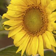 Sunflower-2 Art Print