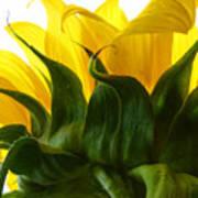 Sunflower 2015 2 Art Print