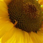 Sunflower 2015 5 Art Print