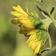 Sunflower 2016-1 Art Print