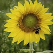 Sunflower Among The Weeds Art Print