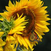 Sunflower And Monarch 3 Art Print by Edward Sobuta