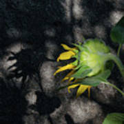 Sunflower And Shadow Art Print