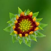 Sunflower Bud  Art Print