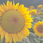 Sunflower closeup on field during sunset  Art Print