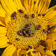 Sunflower Covered In Ladybugs Art Print