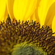 Sunflower Detail Art Print