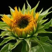 Sunflower - Doubleshine Art Print